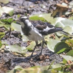 Grallina cyanoleuca (Magpie-lark) at Commonwealth & Kings Parks - 3 Feb 2020 by Alison Milton