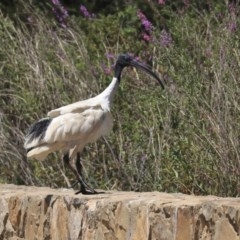 Threskiornis molucca (Australian White Ibis) at Commonwealth & Kings Parks - 3 Feb 2020 by Alison Milton
