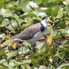 Vanellus miles (Masked Lapwing) at Commonwealth & Kings Parks - 3 Feb 2020 by Alison Milton