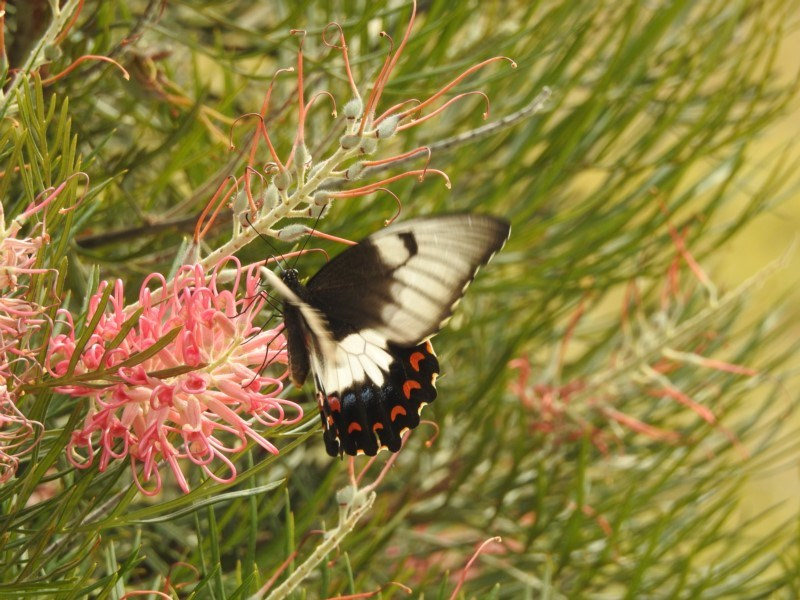 Papilio aegeus at Berry, NSW - 3 Jan 2020