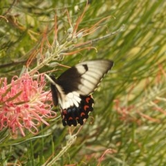 Papilio aegeus (Orchard Swallowtail, Large Citrus Butterfly) at Berry, NSW - 2 Jan 2020 by Andrejs