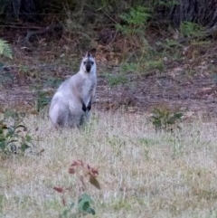 Macropus rufogriseus (Red-necked Wallaby) at - 1 Dec 2018 by Aussiegall