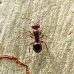 Melophorus sp. (genus) (Furnace ant) at ANBG - 11 Feb 2020 by Christine