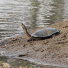 Chelodina longicollis (Eastern Long-neck Turtle) at Symonston, ACT - 5 Feb 2020 by Christine
