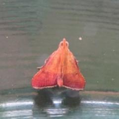 Endotricha pyrosalis (A Pyralid moth) at Flynn, ACT - 12 Feb 2020 by Christine