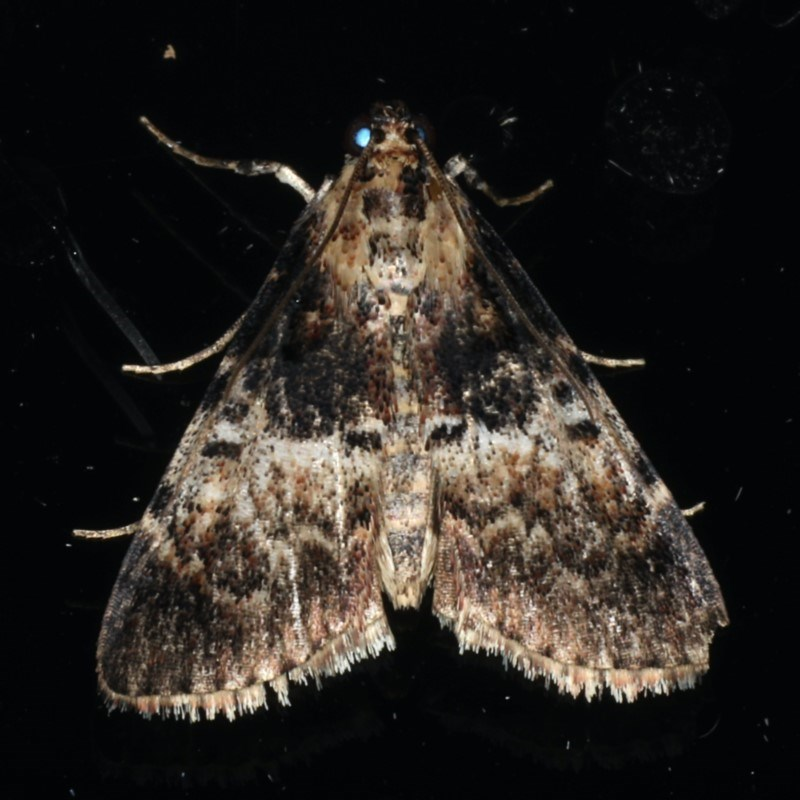 Orthaga thyrisalis at Ainslie, ACT - 12 Feb 2020