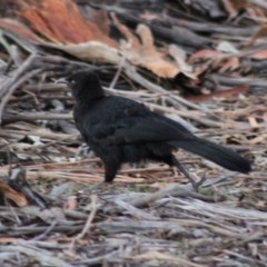 Corcorax melanorhamphos (White-winged Chough) at Hughes Grassy Woodland - 11 Feb 2020 by LisaH