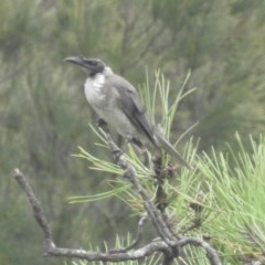 Philemon corniculatus (Noisy Friarbird) at Berry, NSW - 12 Feb 2020 by Andrejs