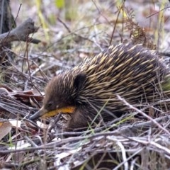 Tachyglossus aculeatus (Short-beaked Echidna) at Penrose - 19 Sep 2019 by Aussiegall
