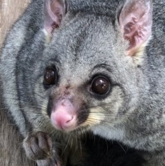 Trichosurus vulpecula (Common Brushtail Possum) at Hughes Garran Woodland - 11 Feb 2020 by ruthkerruish