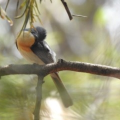 Myiagra rubecula (Leaden Flycatcher) at ANBG - 30 Jan 2020 by HelenCross