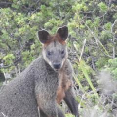 Wallabia bicolor (TBC) at Guerilla Bay, NSW - 26 Jan 2020 by HelenCross