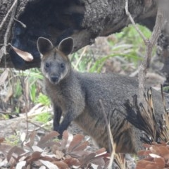 Wallabia bicolor (Swamp Wallaby) at Guerilla Bay, NSW - 26 Jan 2020 by HelenCross