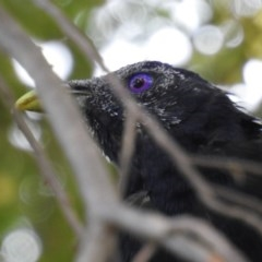 Ptilonorhynchus violaceus (Satin Bowerbird) at ANBG - 11 Feb 2020 by HelenCross