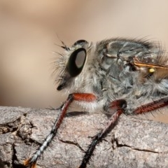 Promachus sp. (genus) (A robber fly) at Callum Brae - 14 Feb 2020 by rawshorty