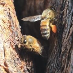 Apis mellifera (European honey bee) at The Pinnacle - 13 Feb 2020 by AlisonMilton
