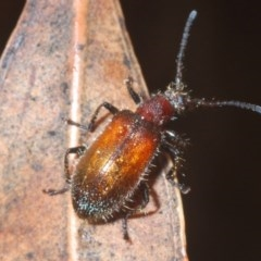 Lagriinae sp. (Subfamily) (Unidentified Long-jointed bark beetle) at Currowan State Forest - 13 Feb 2020 by Harrisi