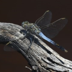 Orthetrum caledonicum (Blue Skimmer) at Mount Ainslie - 14 Feb 2020 by jbromilow50