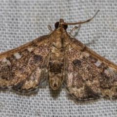 Nacoleia rhoeoalis (A Pyralid Moth) at Black Mountain - 9 Nov 2017 by Thommo17