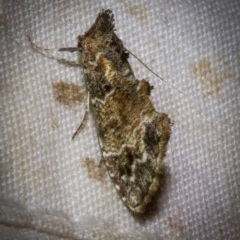 Arrade destituta (A Noctuid moth) at Black Mountain - 9 Nov 2017 by Thommo17