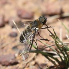 Villa sp. (genus) (Unidentified Villa bee fly) at Mount Ainslie - 14 Feb 2020 by jbromilow50