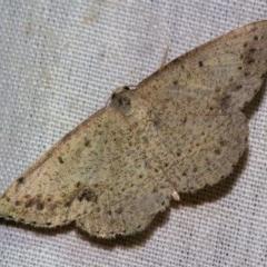 Taxeotis intextata (Looper Moth, Grey Taxeotis) at Black Mountain - 9 Nov 2017 by Thommo17