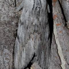Destolmia lineata (Streaked Notodontid) at Black Mountain - 9 Nov 2017 by Thommo17