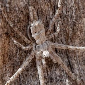 Tamopsis sp. (genus) at Callum Brae - 14 Feb 2020