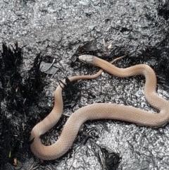 Drysdalia coronoides (White-lipped Snake) at Namadgi National Park - 14 Feb 2020 by nath_kay