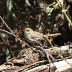 Malurus cyaneus (Superb Fairywren) at Mount Ainslie - 14 Feb 2020 by jbromilow50