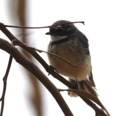 Rhipidura albiscapa (Grey Fantail) at Mount Ainslie - 14 Feb 2020 by jbromilow50