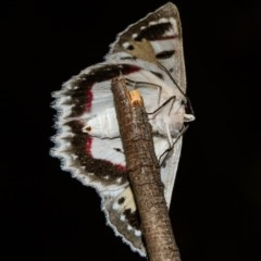 Crypsiphona ocultaria (Red-lined Looper Moth) at Black Mountain - 9 Nov 2017 by Thommo17