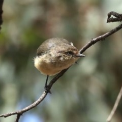 Acanthiza reguloides (Buff-rumped Thornbill) at Mount Ainslie - 14 Feb 2020 by jbromilow50
