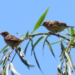 Cisticola exilis (Golden-headed Cisticola) at Jerrabomberra Wetlands - 14 Feb 2020 by RodDeb