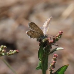 Theclinesthes serpentata (Saltbush Blue) at Jerrabomberra Wetlands - 14 Feb 2020 by RodDeb