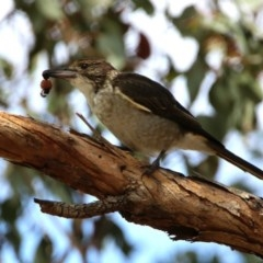 Cracticus torquatus (Grey Butcherbird) at Jerrabomberra Wetlands - 14 Feb 2020 by RodDeb
