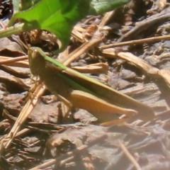 Schizobothrus flavovittatus at Jerrabomberra Wetlands - 14 Feb 2020