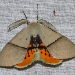 Gastrophora henricaria (Fallen-bark Looper, Beautiful Leaf Moth) at Black Mountain - 11 Nov 2018 by Thommo17