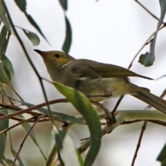 Ptilotula penicillatus (White-plumed Honeyeater) at Jerrabomberra Wetlands - 14 Feb 2020 by RodDeb