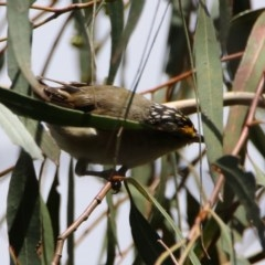 Pardalotus striatus (Striated Pardalote) at Jerrabomberra Wetlands - 14 Feb 2020 by RodDeb