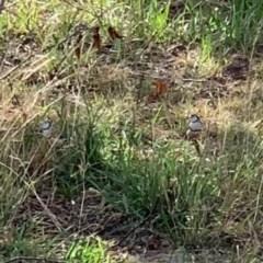 Taeniopygia bichenovii (Double-barred Finch) at Murrumbateman, NSW - 11 Feb 2020 by SimoneC
