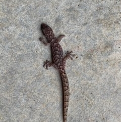 Christinus marmoratus (Southern Marbled Gecko) at Murrumbateman, NSW - 9 Feb 2020 by SimoneC