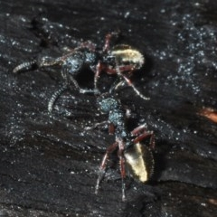 Dolichoderus doriae (Dolly ant) at Currowan State Forest - 13 Feb 2020 by Harrisi