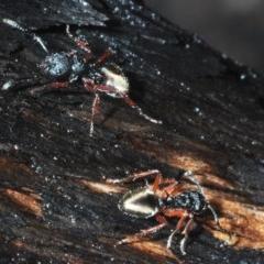 Dolichoderus doriae at Currowan State Forest - 13 Feb 2020