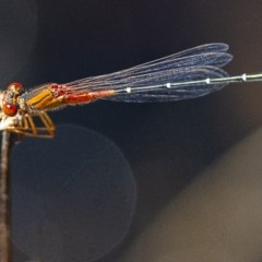 Xanthagrion erythroneurum (Red & Blue Damsel) at Googong, NSW - 14 Feb 2020 by WHall