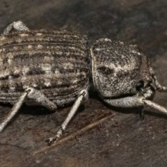Cubicorhynchus maculatus (Spotted ground weevil) at Googong, NSW - 15 Feb 2020 by WHall