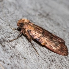 Mimaglossa nauplialis (A Pyralid moth) at Black Mountain - 9 Nov 2017 by Thommo17