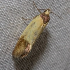 Merocroca automima (A concealer moth) at Black Mountain - 9 Nov 2017 by Thommo17