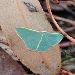 Chlorocoma dichloraria (Doubled-fringed or Guenee's Emerald) at Mount Painter - 13 Feb 2020 by CathB