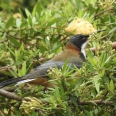 Acanthorhynchus tenuirostris (Eastern Spinebill) at Wingecarribee Local Government Area - 16 Feb 2020 by GlossyGal